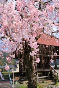 徳山愛宕地蔵堂の枝垂れ桜♪ - happy-cafe*vol.2