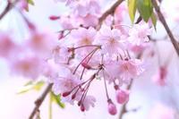徳山の枝垂れ桜・2♪~90mmマクロver~ - happy-cafe*vol.2