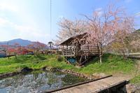 徳山の桜♪~ときどんの池~ - happy-cafe*vol.2