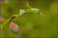 梅芽吹く - 薫の時の記憶