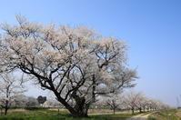 桜便り~8(小矢部川の一本桜) - きょうから あしたへ その2