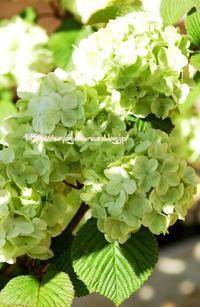 大手毬(オオデマリ) - 花と風の薫り