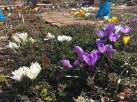 小さい春みつけた~美瑛散歩 - IL PARADISO VERDE DI NORINA ~美瑛印象派ガーデン便り~