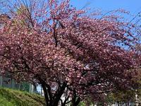 お花見散歩を楽しむ - ゆうゆう素敵な暮らしの手帖