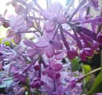 ライラックの花のころ… - 侘助つれづれ