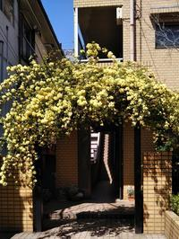 """""""モッコウバラ""""のアーチでお出迎え - 健気に育つ植物たち"""