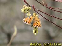 高標高のヒオドシ覚醒 - 秩父の蝶