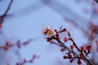 梅の花、開花! - 空 -Sora-