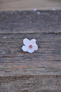 桜その2 - がつたま便り