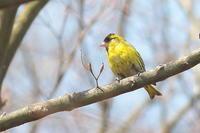 黄色味を増したマヒワ - 上州自然散策3
