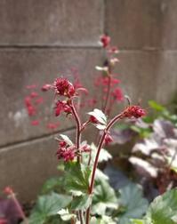今日もスマホで庭の花 - ヒバリのつぶやき