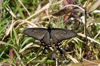 ジャコウアゲハ・・・新生 - 続・蝶と自然の物語