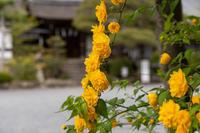 「山吹の季節-松尾大社-」 - ほぼ京都人の密やかな眺め Excite Blog版