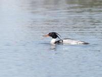 水辺にいたウミアイサ - コーヒー党の野鳥と自然パート3