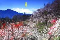 令和2年4月の富士番外編花桃の里と富士 - 富士への散歩道 ~撮影記~
