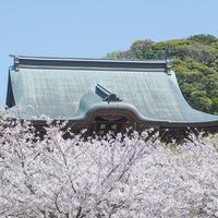 鎌倉建長寺の桜2020 - エーデルワイスPhoto