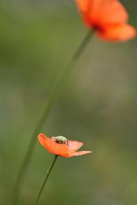 ヒナゲシの咲く頃 - ecocoro日和