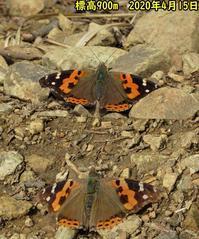 2頭のアカタテハ - 秩父の蝶