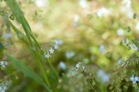 忘れな草に似たキュウリ草 - ナナイロノート