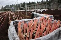 オリエンタルユリ球根を植える - ユリ 百合 ゆり 魚沼農場の日々