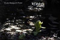 小川のふきのとう - ekkoの --- four seasons --- 北海道