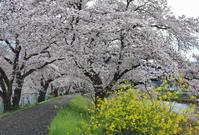 桜 19兵庫県 - ty4834 四季の写真Ⅱ