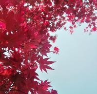 もみじの春… - 侘助つれづれ