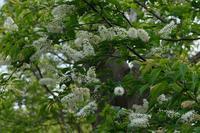 ■小谷戸の里の前の花 3種20.4.16(ウワミズザクラ、ハナイカダ、メギ) - 舞岡公園の自然2