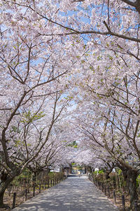 2020年の鎌倉の桜 - エーデルワイスブログ