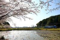 福通コンテナ列車と桜2020年4月14日 - 鉄道日和