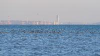 セリオン背景にカモの群れ - ひとり野鳥の会