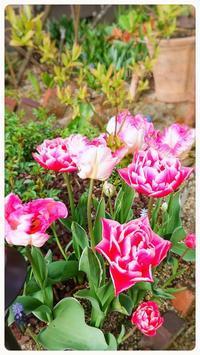 花はまだだけど、グングン伸びるラナンキュラス - どんぐりの木の下で……