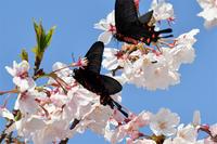 桜・・・ジャコウアゲハ2頭 - 続・蝶と自然の物語