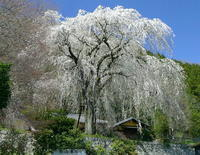 浄福寺の桜 - 写真巡礼「日本の風景」