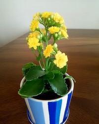 """""""カランコエ""""一年かけてようやく1輪咲きました!! - 健気に育つ植物たち"""