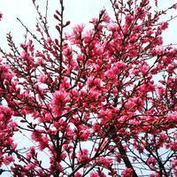 花桃の花が咲きました... - 笑顔で行こう