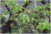 葉桜へと - 花ありて 日々