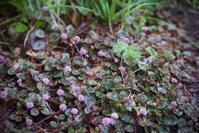 ローズゼラニウムのコーンブレッドの作り方 - 世話要らずの庭