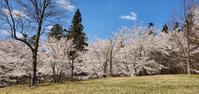 4月11日の桜巡り/お花見広場@福島県玉川村 - 963-7837