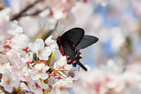 桜とジャコウアゲハ - 蝶と自然の物語