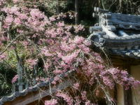 桜 21京都府 - ty4834 四季の写真Ⅱ