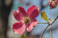 牡丹・西洋石楠花 - あだっちゃんの花鳥風月