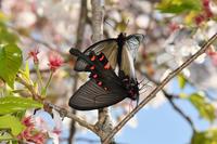 桜ジャコウアゲハ・・・交尾1 - 続・蝶と自然の物語