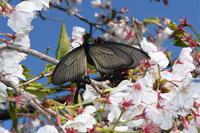桜ジャコウアゲハ・・・交尾2 - 続・蝶と自然の物語