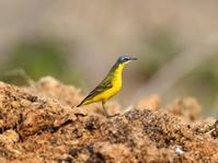 珍しい亜種 - 四季の鳥達歌
