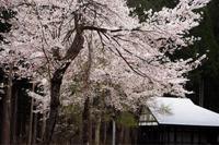 桜 - 松之山の四季2