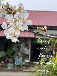 IVORY桜 開花です〜♬ -  Flower and cafe 花空間 ivory (アイボリー)