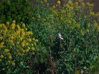 世間の・・・オオカラモズ⑤。(菜の花絡み編) - 鳥見んGOO!(とりみんぐー!)野鳥との出逢い