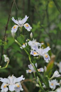 松尾大社の花 - Taro's Photo