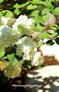 大手毬(オオデマリ) 2 - 花と風の薫り